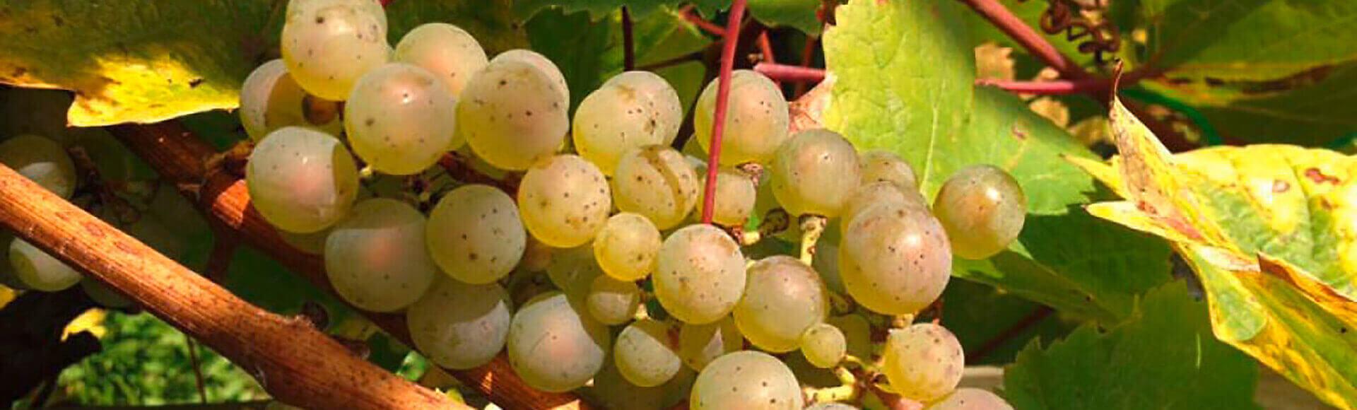 Rhöndorfer Weintrauben vom Lehrweinberg, Foto: Bürgerverein